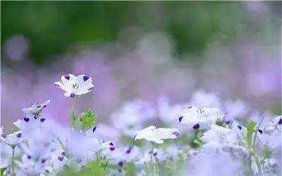 紫色胡麻花